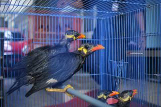 Penyelundupan Burung dari Kalimantan