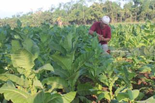 Realisasi Tanam Tembakau di Probolinggo Tidak Penuhi Target