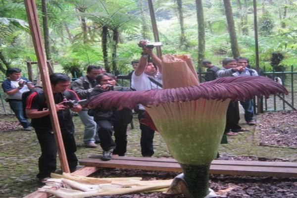 Bunga Bangkai  Segera Mekar di Kebun Raya Bogor