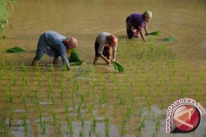 Puluhan Hektare Sawah di Cianjur Diserang Hama