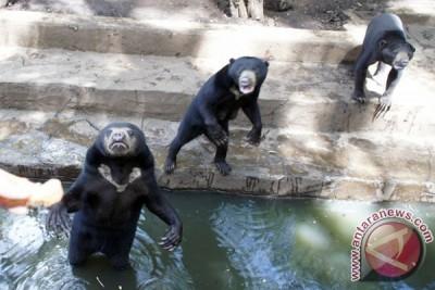 Beruang Madu Kebun Binatang Bandung