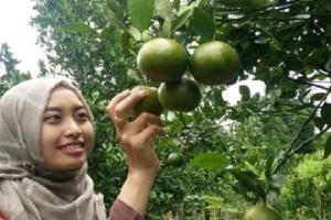 Petani Kembangkan Agrowisata Jeruk Garut