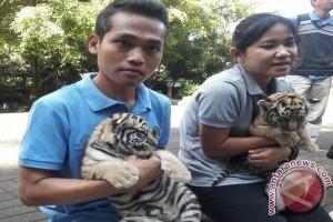 Kebun Binatang Bandung Kenalkan Dua Bayi Harimau