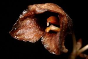 Peneliti Publikasikan Spesies Baru Anggrek Hantu