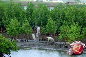 Pantura direstorasi dengan ditanami mangrove