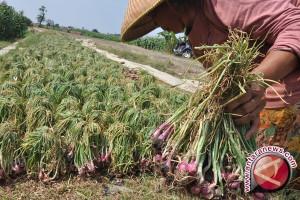 Petani Bawang Akui Harga Murah Sudah Setahun
