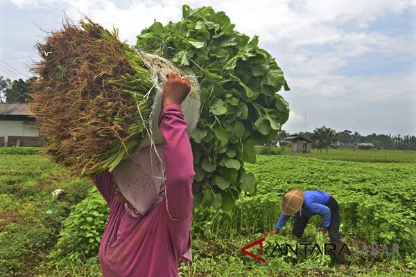 Alokasi Anggaran Benih Holtikultura