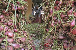 Harga bawang merah anjlok dikeluhkan petani Cirebon