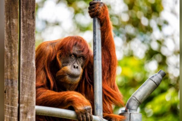 Orangutan tertua di dunia mati