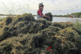 Kualitas rumput laut turun