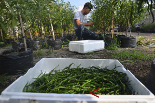 Petani cabai Urban Farming
