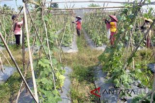 Petani beralih menanam Palawija