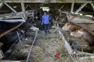 Ternak sapi potong