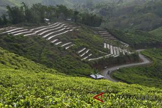 Produksi teh Nasional