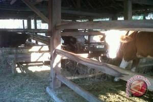 Harga sapi di Kulon Progo naik Signifikan
