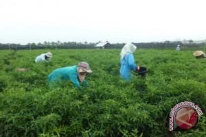 Petani Pesisir Kulon Progo panen raya cabai