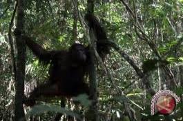 Bayi Orangutan Kembali Diselamatkan di Ketapang
