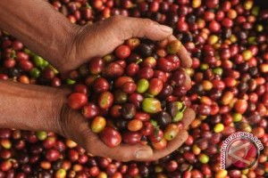 Harga kopi arabika naik