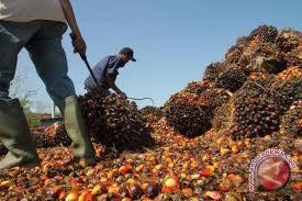 Harga Sawit Riau Terus Naik