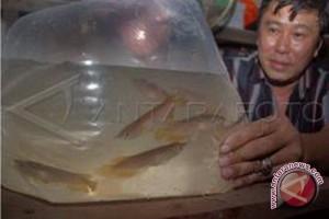Warga Suhaid Keluhkan Perizinan Ikan Arwana