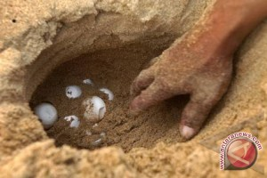 BKSDA Kalbar Tangkap Pedagang Telur Penyu