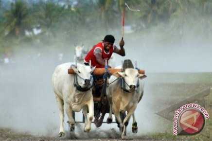 24 pasangan sapi rebutkan piala Presiden RI