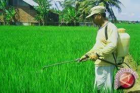 Produksi padi di Kalbar Turun 5,31Persen