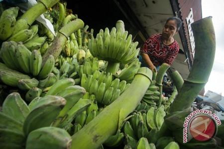 Ekspor pisang mas ke China capai satu kontainer per minggu
