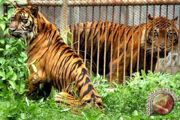 Sepasang harimau sumatera tertangkap kamera trap