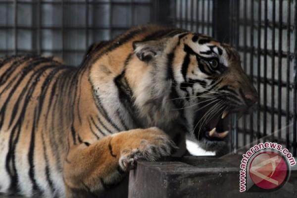 Seekor Harimau Sumatera betina, Salma ( 11 tahun) mengaum di pusat