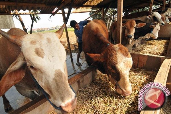 Peternakan sapi. (antarafoto)