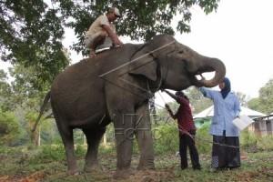 Bayi Gajah Kembali Lahir di Way Kambas