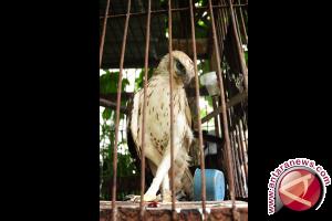 BKSDA Selamatkan Elang Di Bengkayang