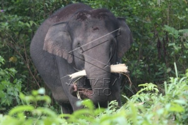 Saudah tewas diserang gajah liar