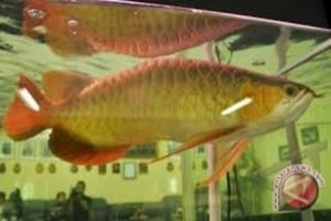 Ikan Semah dan Botia Diminati Luar Negeri
