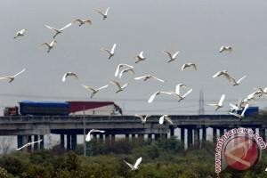 Burung Bangau Ancam Penerbangan di Bandara Pangsuma