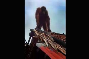 Orangutan di Desa Laman Mumbung Dievakuasi