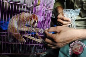 BKSDA Kalbar Evakuasi Dua Ekor Klampiau