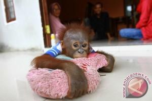 BKSDA Evakuasi Orangutan Dan Empat Ekor Kucing Hutan