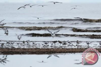 Survey Migrasi Burung Pantai