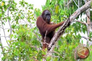 Warga Sintang Serahkan Orangutan Ke BKSDA