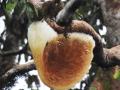 Madu Hutan Organik Kapuas Hulu