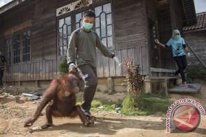 BKSDA Kalbar Selamatkan Orangutan di Kubu Raya
