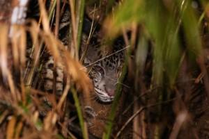 Habitat Macan Dahan Mulai Langka