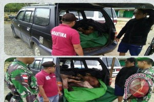 Satgas Pamtas Gagalkan Penyelundupan Babi Dari Malaysia