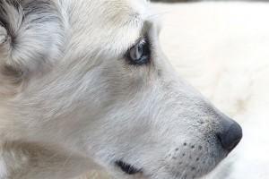 10 Warga Kayong Utara Digigit Anjing Rabies