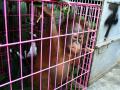 Gagalkan Perdagangan Bayi Orangutan