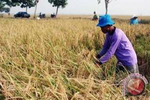 Petani Sambas Keluhkan Harga Gabah Anjlok