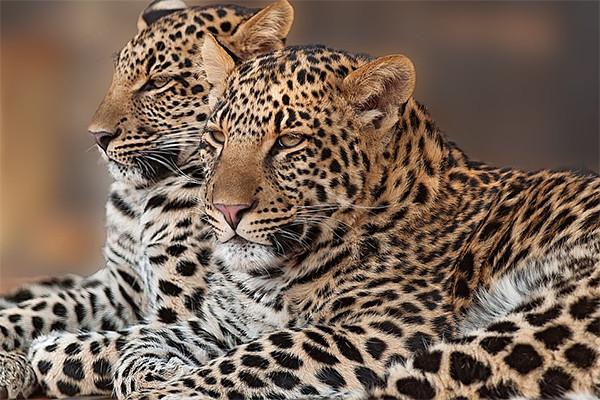 Sinka Zoo Datangkan Sepasang Macan Tutul