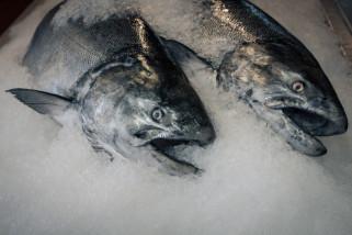 Ikan Kalbar diekspor ke 11 negara